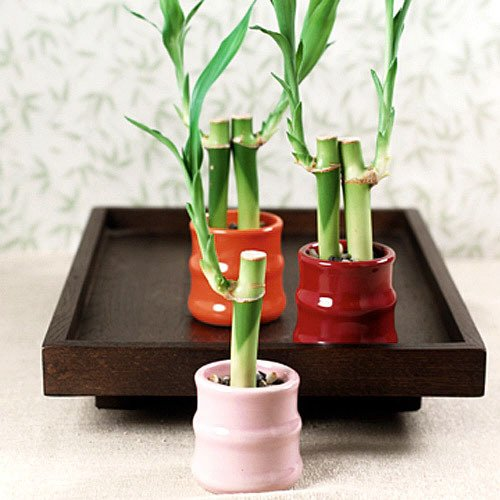 Mini Bamboo Fortune Plant Favors