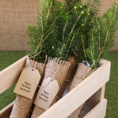 Personalized Birthday Evergreen Tree Seedling Favors